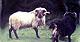 Boreray-ramsthumbnail.jpg