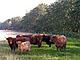 Heck_Cattle2thumbnail.jpg