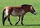 Przewalski_Horse2thumbnail.jpg