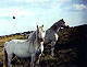 Welsh_Mountain_Pony1thumbnail.jpg