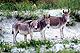 feral_Asinara_grey_donkey_thumbnail.jpg