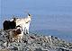 feral_Burren_Goat_thumbnail.jpg